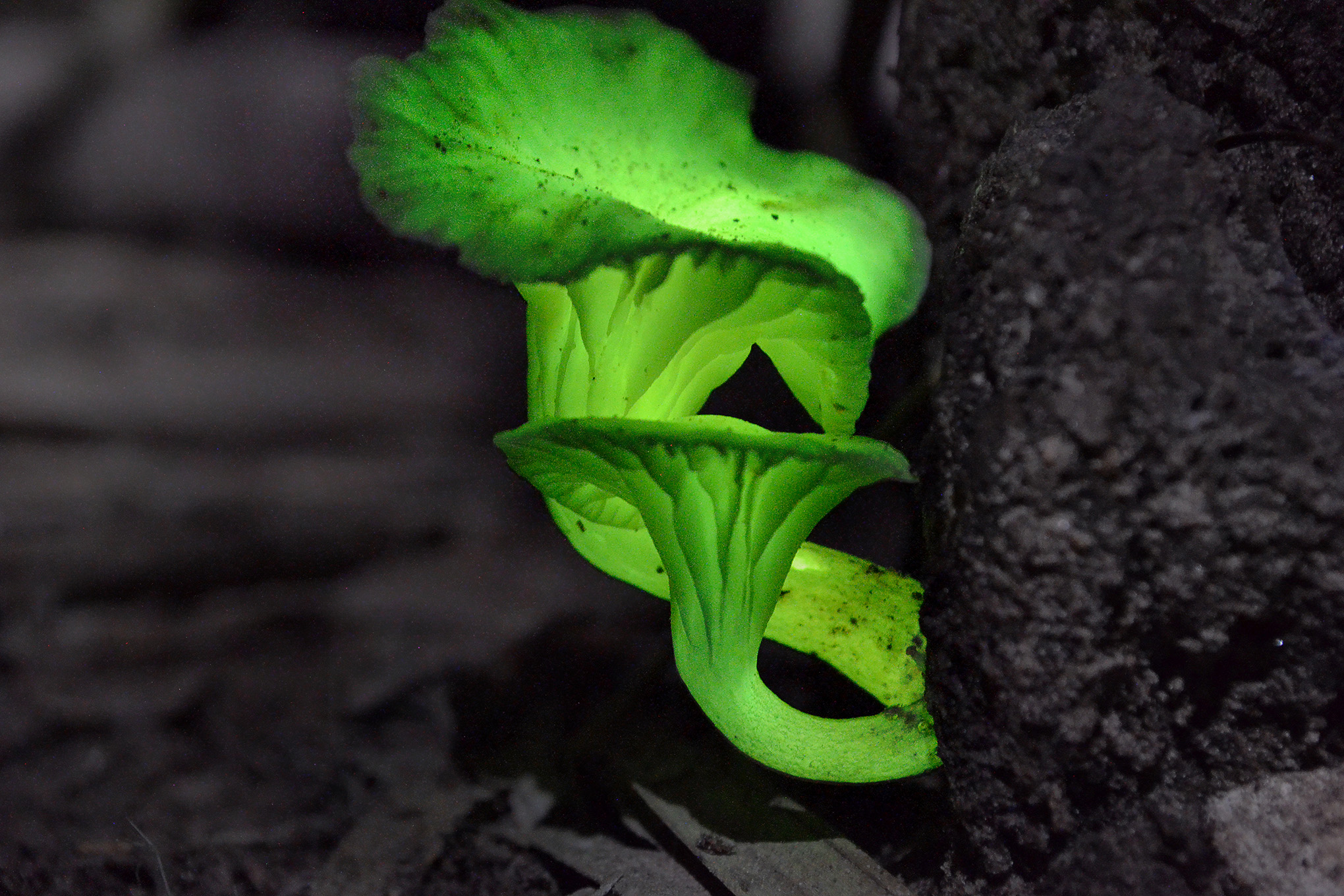 This photo composite shows Neonothopanus gardneri growing at the base of a tree.