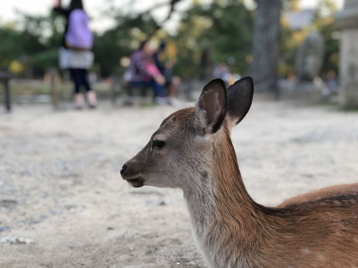 Look at how in-focus this cute deer in Nara Park is. (Shot with Portrait mode).