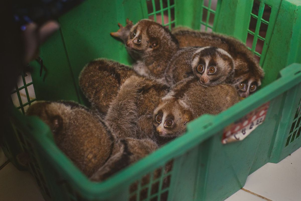 These lorises have been captured for the illegal wildlife trade.